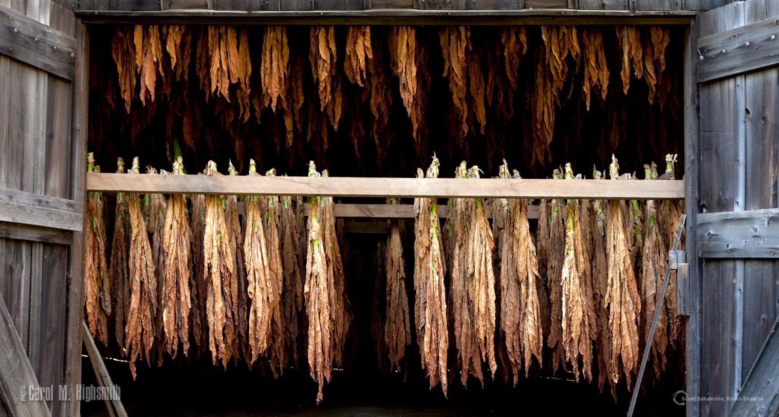 Cigar tobacco, tobacco leaf